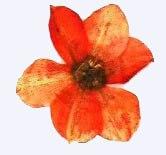押し花素材 水仙花 オレンジ