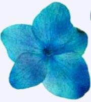 押し花素材 アジサイ ブルー染め