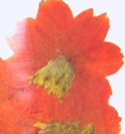 押し花素材 コスモス オレンジ