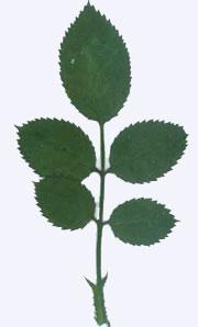 押し花素材 ミニバラの葉 緑処理