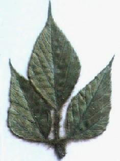 押し花素材 葛の葉(三つ葉)