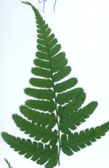 押し花素材 ワラビ 緑処理