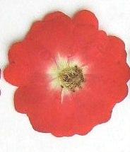 押し花素材 ミニバラ 赤