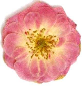 押し花素材 バラ ピンク