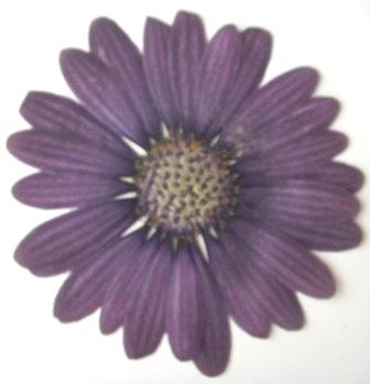 押し花素材 ムラサキビレンギク 濃紫