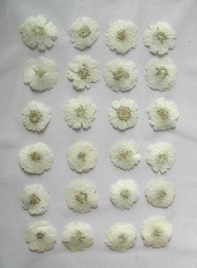 押し花素材 エゾノコギリソウ ホワイト