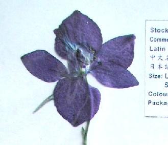 押し花素材 デルフィニューム ブルー
